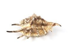 Seashell na bielu Obrazy Stock