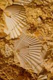 Seashell na pedra Imagens de Stock Royalty Free