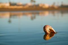 Seashell nautilus on Agadir beach under sunset Royalty Free Stock Photography