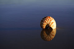 Seashell nautilus on sea beach under sunset Royalty Free Stock Image