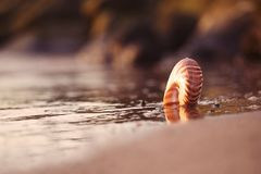 Seashell nautilus on sea beach with waves under sunrise sun ligh Stock Photo