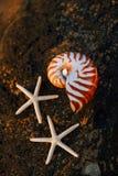Seashell nautilus on stone beach under sunrise sun light Royalty Free Stock Photography
