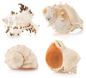 Seashell no branco Fotografia de Stock Royalty Free