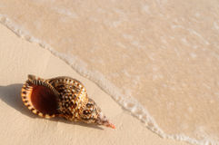 Seashell and ocean wave Royalty Free Stock Image