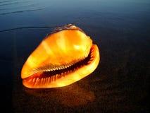 Seashell orange image stock