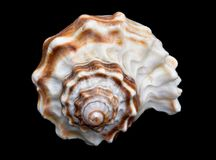 Seashell Over Black #7 (Conch) Royalty Free Stock Photo