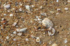 Seashell and pearl`s shell Royalty Free Stock Images