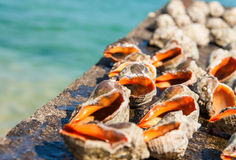 Seashell rapan on a sea background Royalty Free Stock Photo