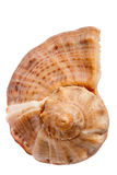 Seashell Rapana Stock Photography
