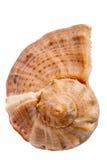 Seashell Rapana Stockfotografie