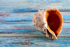 Seashell, Rapana, closeup on a wooden background Royalty Free Stock Images