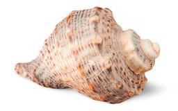 Seashell rapana side view Royalty Free Stock Photos