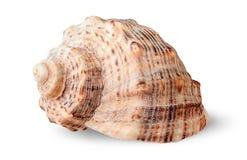 Seashell rapana side view rotated Royalty Free Stock Photography