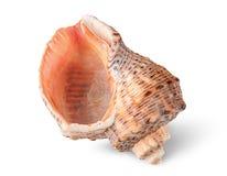 Seashell rapana vertically Royalty Free Stock Photos