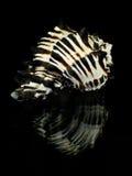 Seashell rayé photographie stock libre de droits