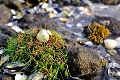 Seashell on the Rocks Royalty Free Stock Photography