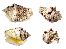 Seashell samples isolated Royalty Free Stock Images