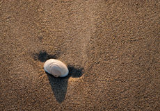 Seashell In the Sand. A seashell laying on the seashore of wet sand on a warm morning during sunrise Royalty Free Stock Photo