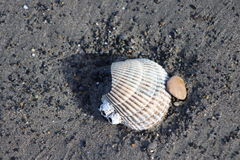 Seashell in sand Royalty Free Stock Image