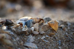 Seashell on the sandy Black Sea beach of Southern Ukraine. Royalty Free Stock Images