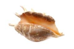 Seashell scuro Immagine Stock Libera da Diritti