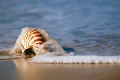 Seashell on sea beach, Agadir ,Marocco Royalty Free Stock Images
