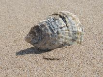 Seashell, Sea, Shell, Beach, Ocean Stock Images