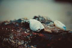 The Seashell Royalty Free Stock Photography