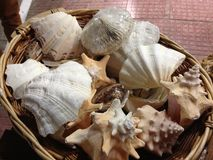 Seashell. Sea shells in a basket royalty free stock images