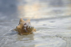 Seashell in the sea on sunrise background Stock Images