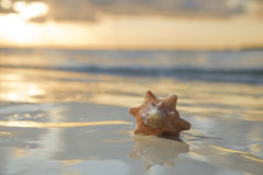 Seashell in the sea on sunrise background Stock Photo