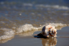 Seashell on the Seashore. A conch shell lays at the water's edge on the sandy shore of the beach. Vacation concept stock photography