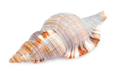 Seashell shell isolated Royalty Free Stock Images