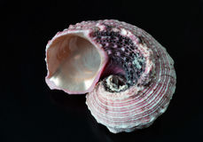 A seashell. Sink wrapped up in a spiral of isolated on a dark background Stock Photo