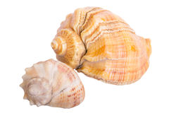 Seashell Royalty Free Stock Images
