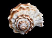 Seashell sobre #7 negro (concha) Foto de archivo libre de regalías