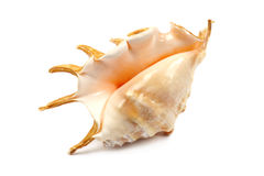 Seashell With Spines Royalty Free Stock Images