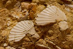 Seashell in stone Stock Photos