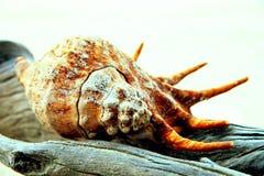Seashell su un legno Fotografia Stock Libera da Diritti