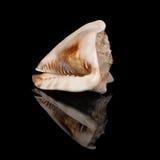 Seashell sul nero fotografia stock