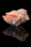 Seashell sul nero immagini stock