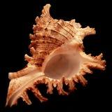 Seashell sul nero Immagine Stock Libera da Diritti