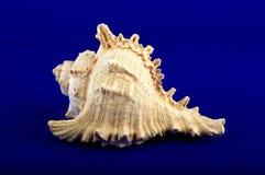 Seashell sull'azzurro Fotografie Stock