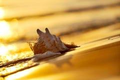 Seashell sulla spiaggia fotografia stock