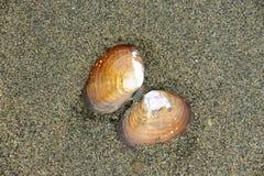 Seashell sulla spiaggia immagine stock libera da diritti