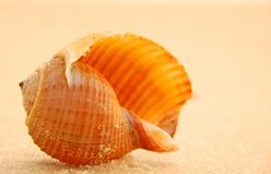 Seashell at sunset. Close-up shot of perfectly shaped seashell with sand grains attached on warmly lit sandy beach Royalty Free Stock Photos
