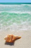 Seashell sur la plage images libres de droits