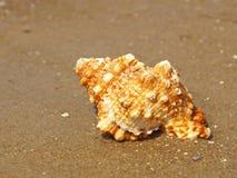Seashell sur la plage sablonneuse. photographie stock libre de droits