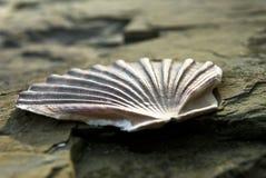 Seashell sur la roche image libre de droits