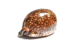 Seashell sur le fond blanc Photos libres de droits